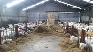 A Goat Dairy Farm