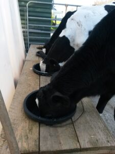 Calves on milk