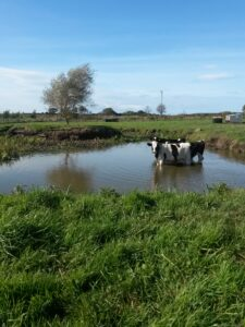 Older bull calves wallowing in the pond