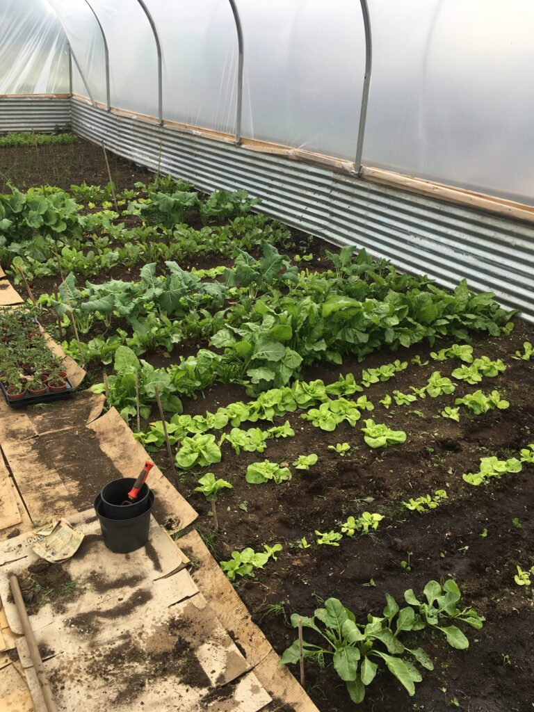 Polytunnel Lettuces, Spinack, Kohl Rabi, and Beetroots