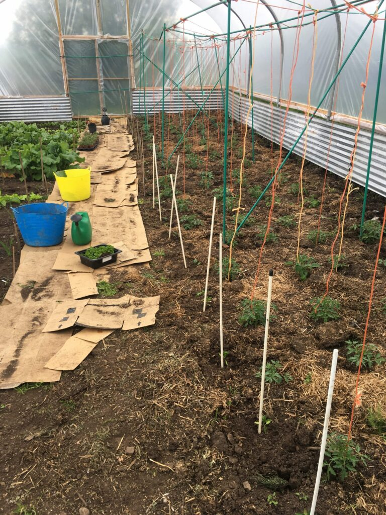 Polytunnel Tomatoes, Peppers and Auburgines